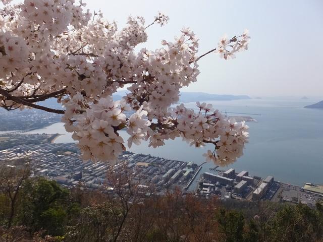 屋島の桜が満開
